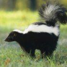 Removes Skunk Odors